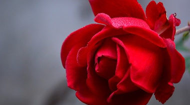 Asif Ali Gohar – Rosenzüchter aus Leidenschaft